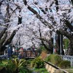 呑川緑道の桜