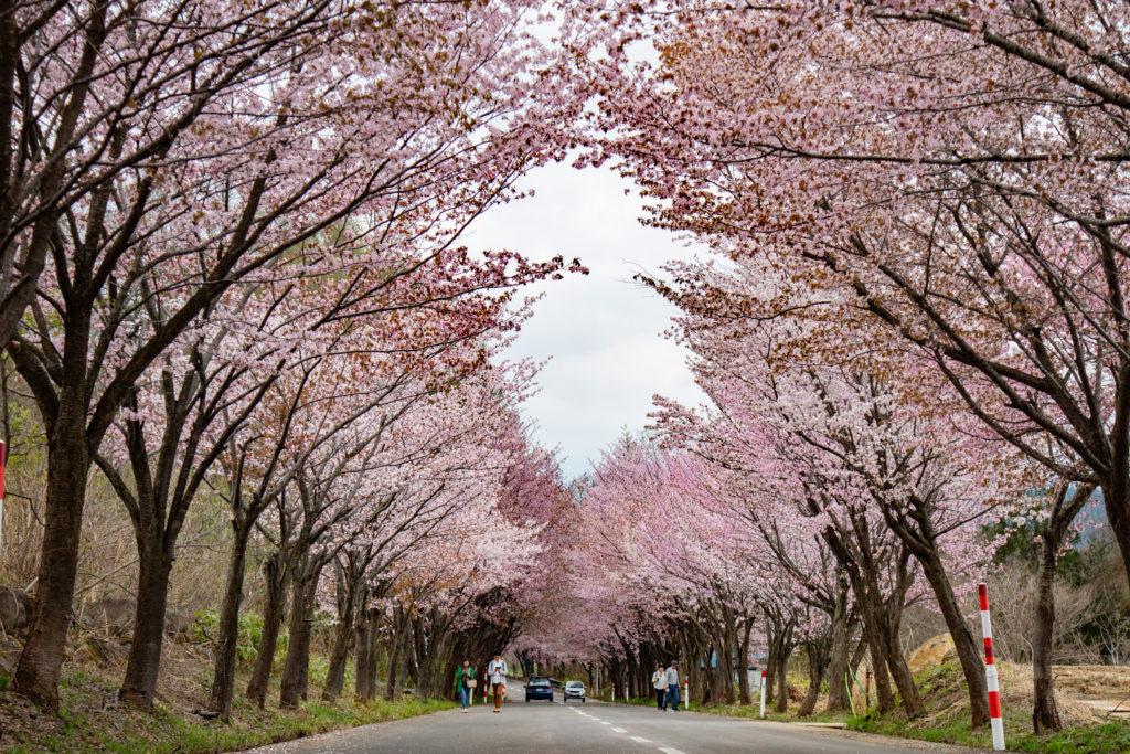 岩手世界一の桜並木