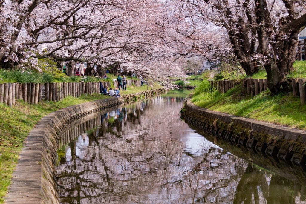 川越新河岸の桜