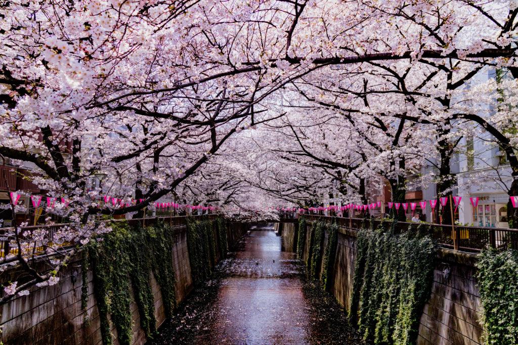 中目黒の桜早朝