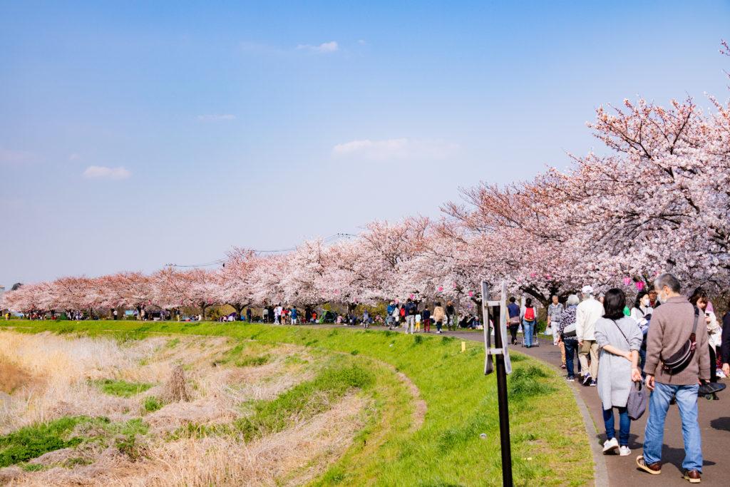 江川せせらぎ緑道までの桜並木