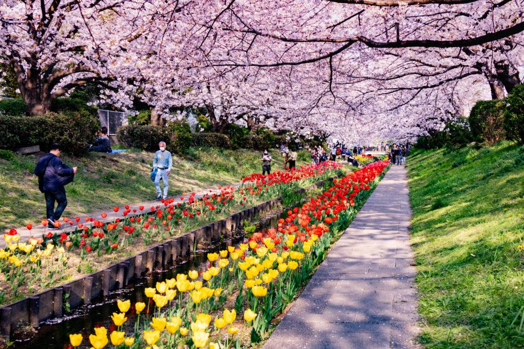 江川せせらぎ緑道の桜とチューリップ