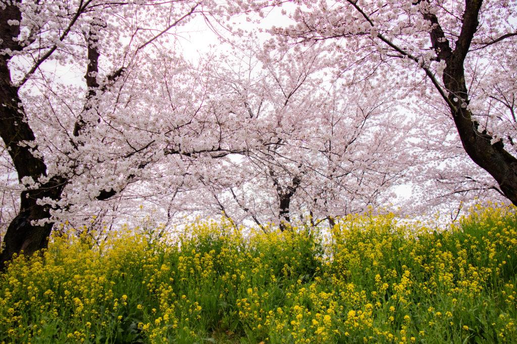 城ヶ谷堤の桜と菜の花