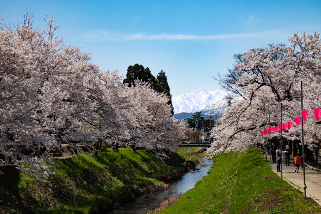 高田青田川の桜並木
