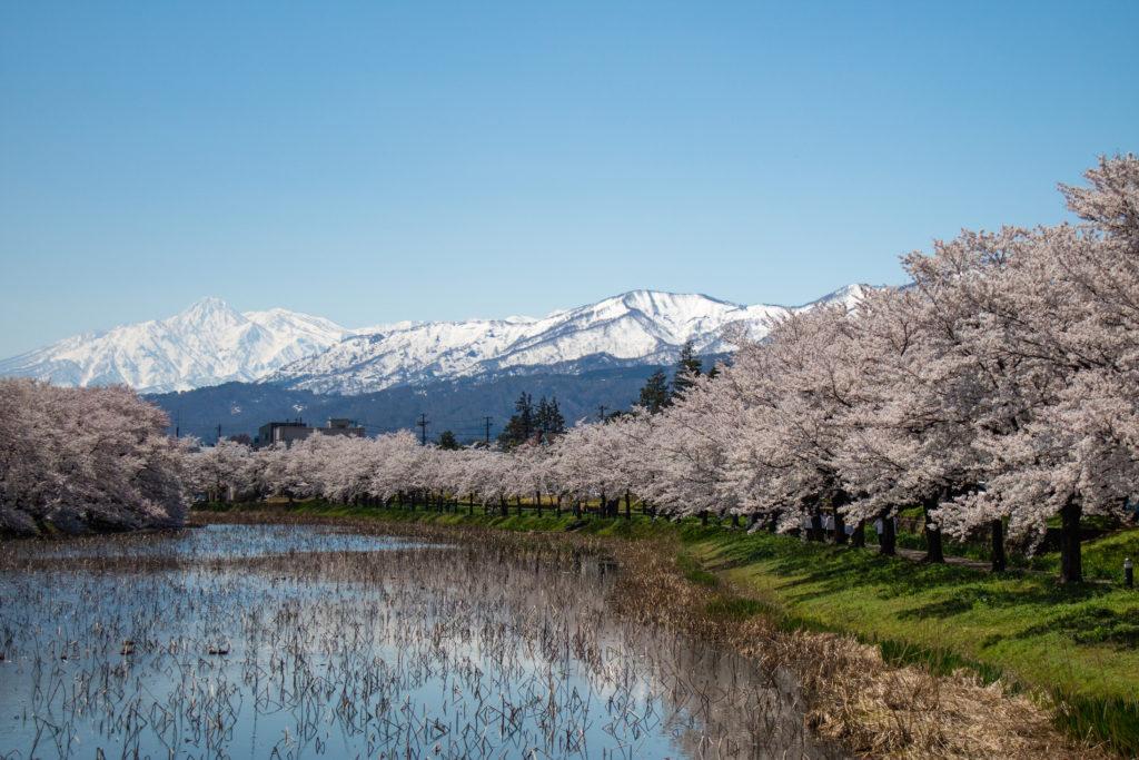 高田公園の桜と妙高連山
