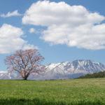 岩手小岩井農場の一本桜