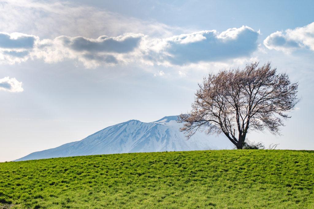岩手三角山の一本桜