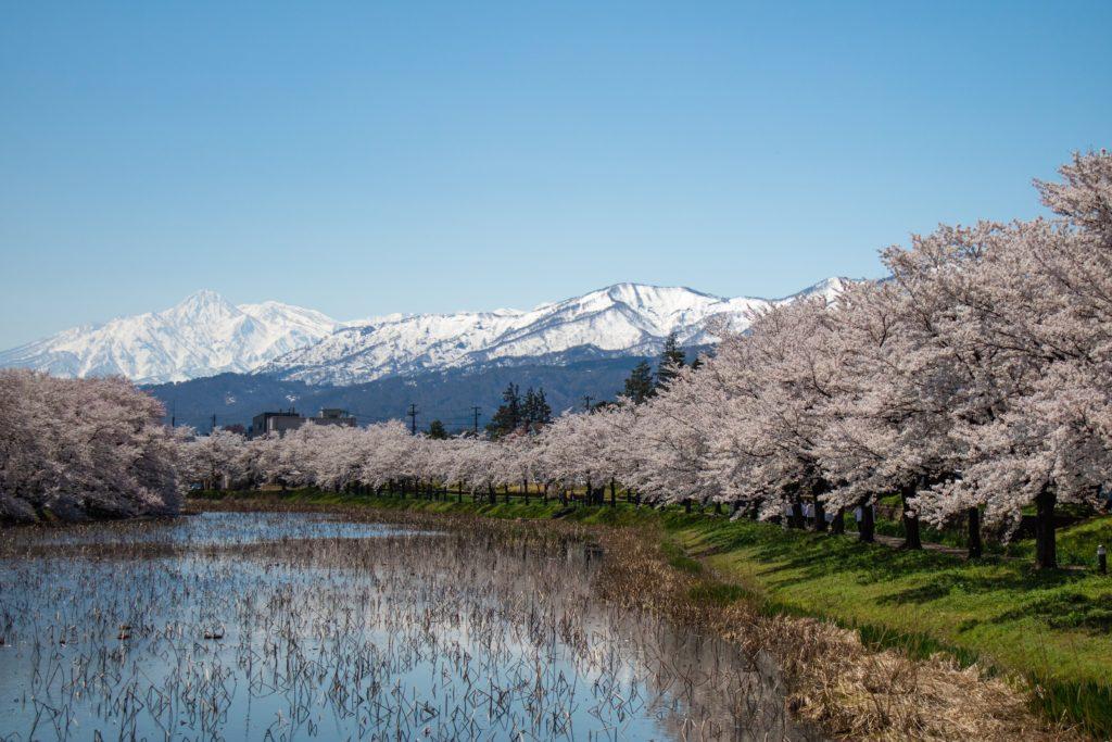 新潟高田公園の桜